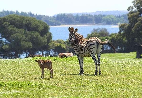 Ma már csak békés állatok vannak a Brijuni szafari parkban