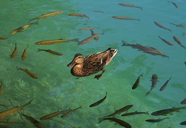 Jól lakott kacsák és halak kísérnek utunkon